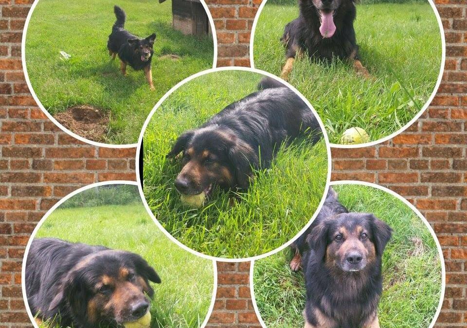 Hund Tyson