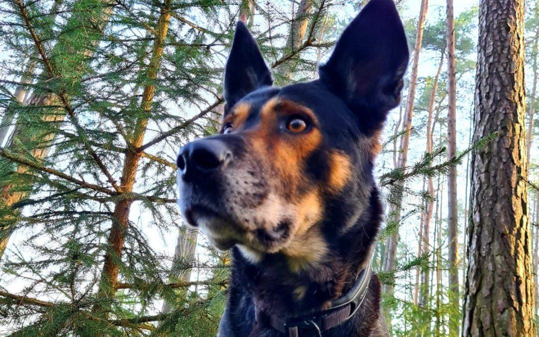 Dobby – ein großer Schäferhund – Fledermaus Mix :+)))
