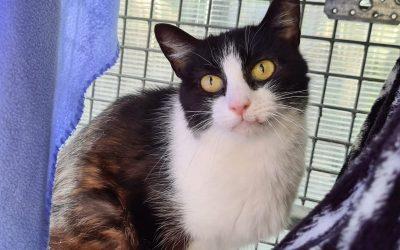 Amanda – schüchternes Katzenmädel sucht liebe Familie