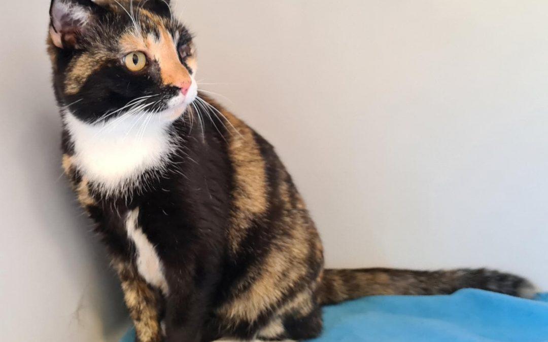 Katzenlady Mausi -eine dreifarbige Schönheit