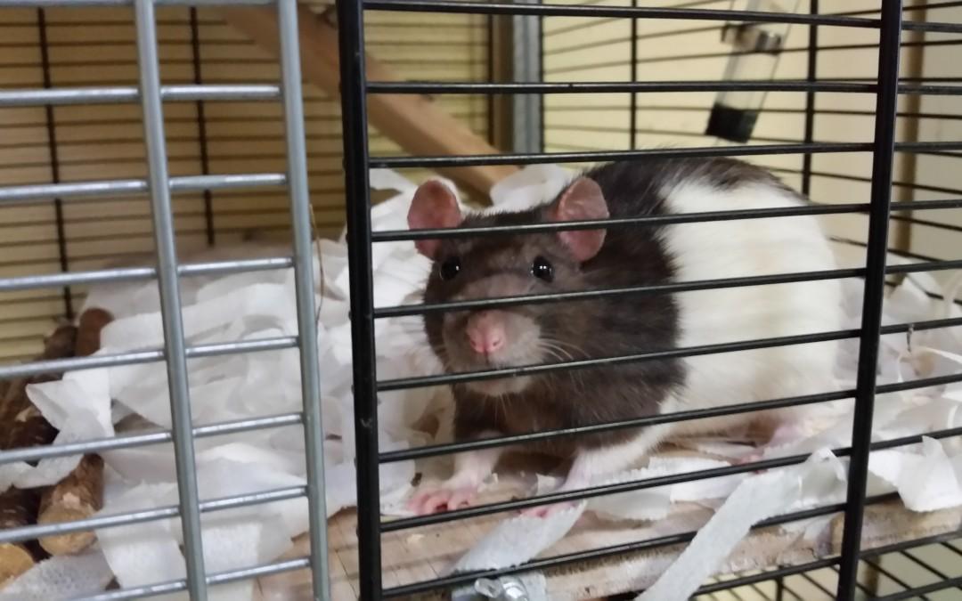 Hanni und Nanni – Zwei Farb-Ratten