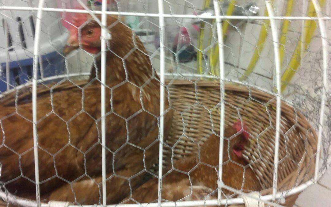 Hühner gefunden in Hirschau