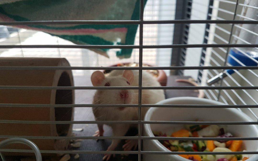 Mango und Prinzessin Lillyfee – zwei Rattenmädels suchen ein Zuhause