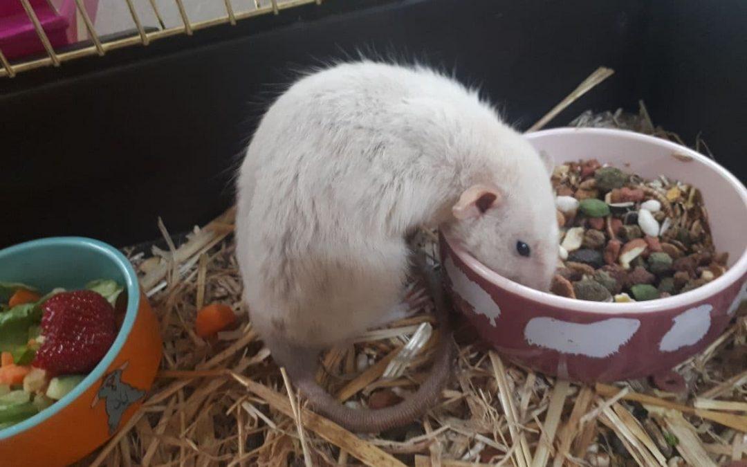 weiße Ratte gefunden, Amberg, Robert-Koch-Straße