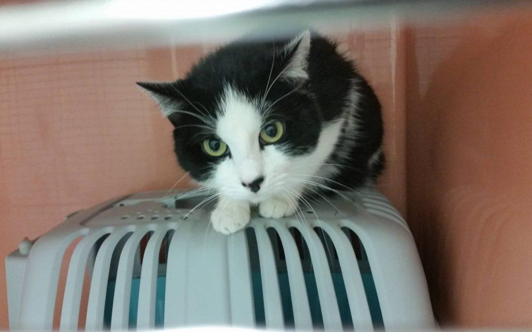 Lilo – große schwarz-weiße Katzenlady