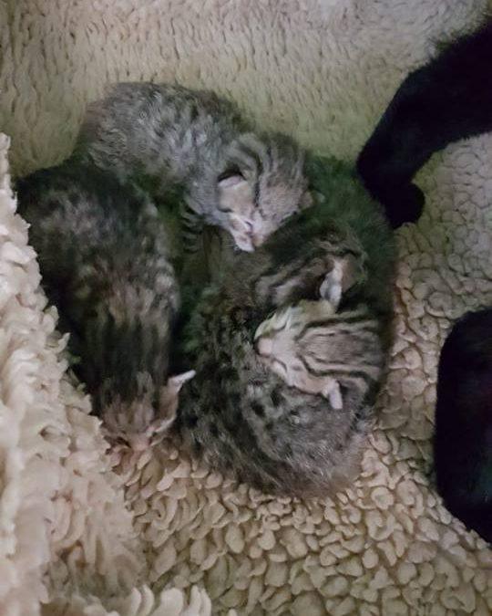 Sina und ihre 4 Tigerkinder