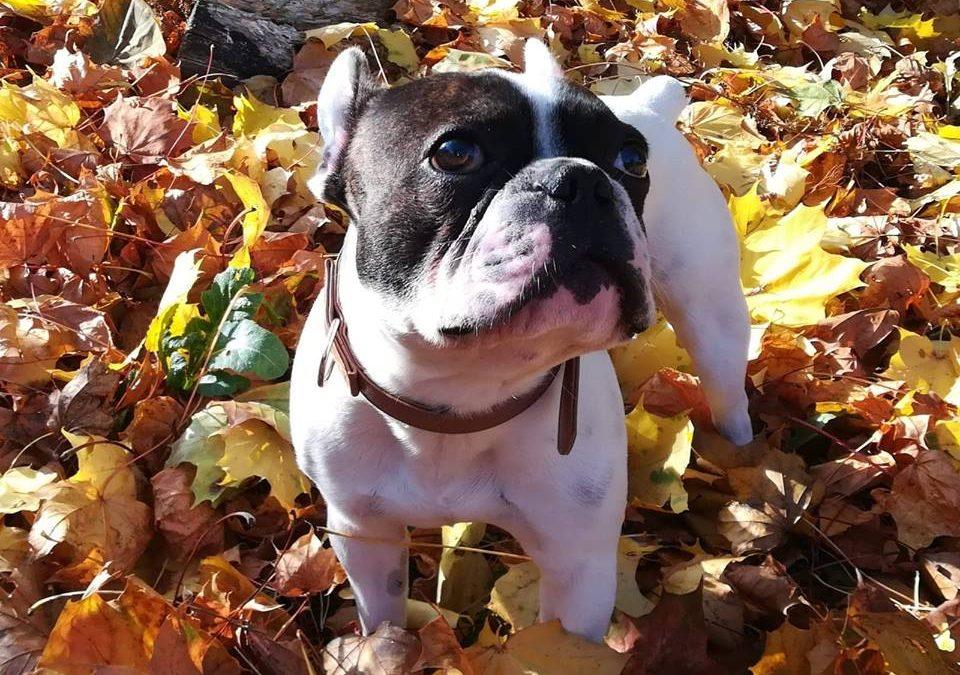 Plattnase Benno :+) – französische Bulldogge