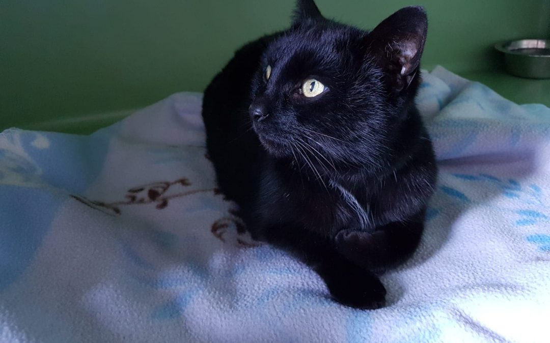 Suri – schwarze Samtpfote