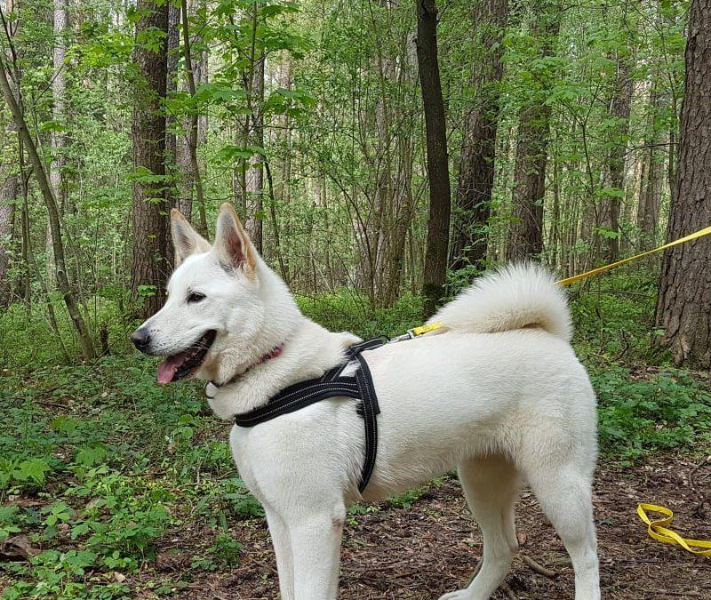 die schöne Leila – junges Akita-Schäferhund Mädel sucht liebevolles Zuhause