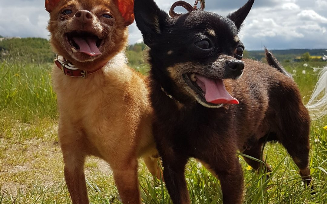 Peter und Tyson – zwei russische Toy Terrier