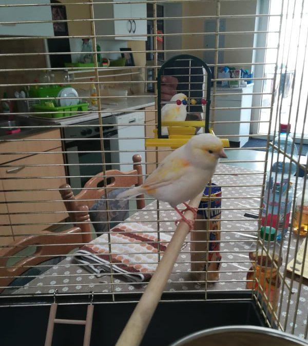 Kanarienvogel gefunden – Amberg Regensburger Straße