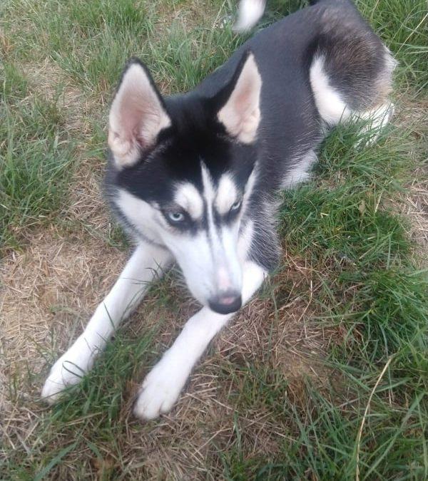 Husky Mädel 'Zala' – 7 Monate alt und nichts für Couch Potatoes :+)