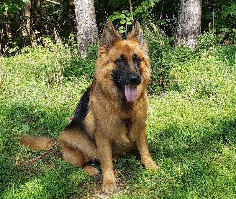 Franko – ein Schäferhund Rüde