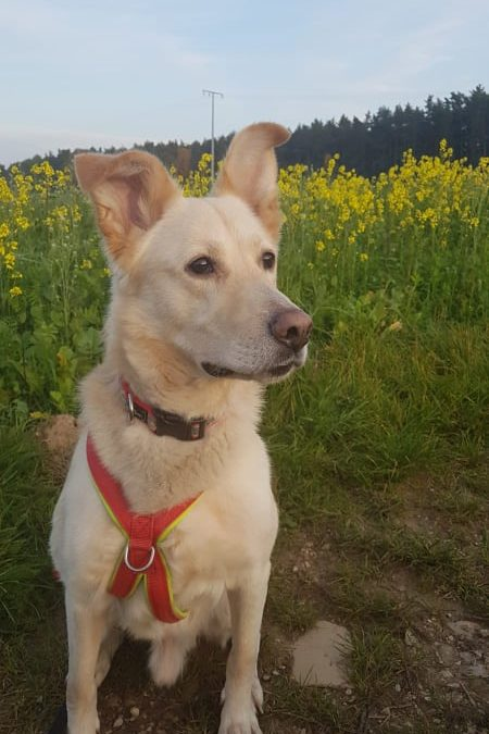 Labrador-Schäfer Mix Charly – ein top fitter Hunde-Senior