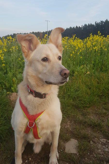 Labrador-Schäfer Mix Charly – ein top fitter Hunde-Senior