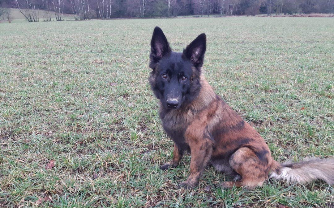 Malick  – bildschöner 'Hollandse Herder Hond'