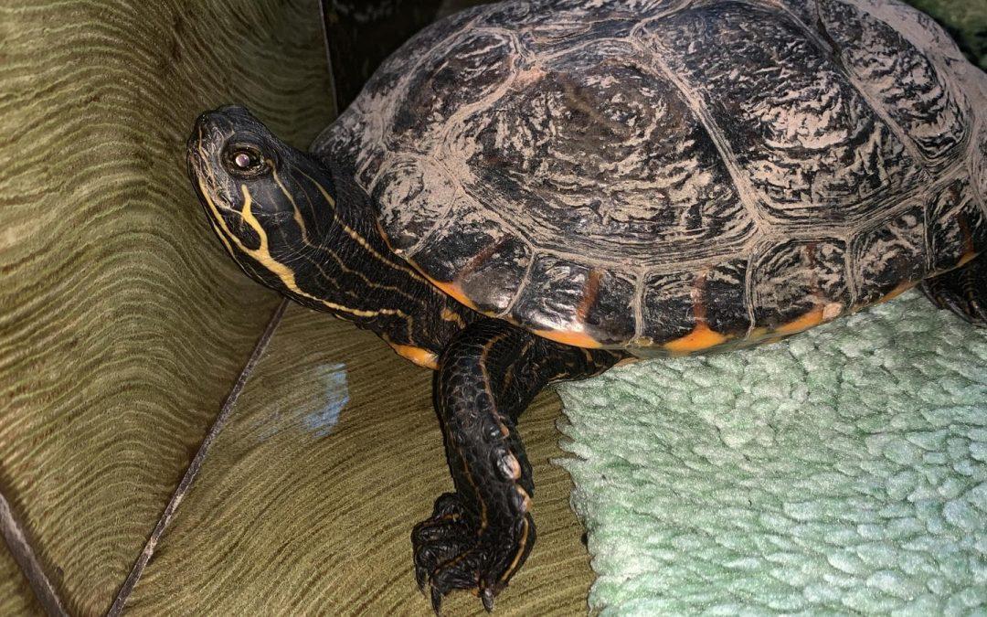 Schildkröte in Kastl gefunden