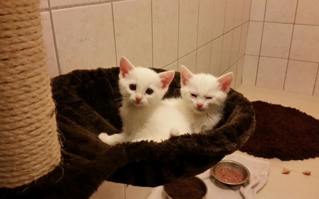 weiße Katzenkinder