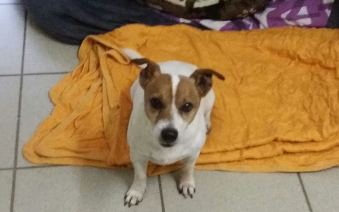 Jack Russell Terrier 'G'