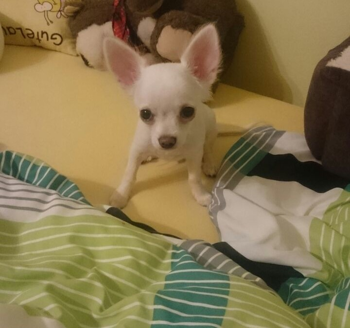 Chico – junger Langhaar Chihuahua sucht neue Familie