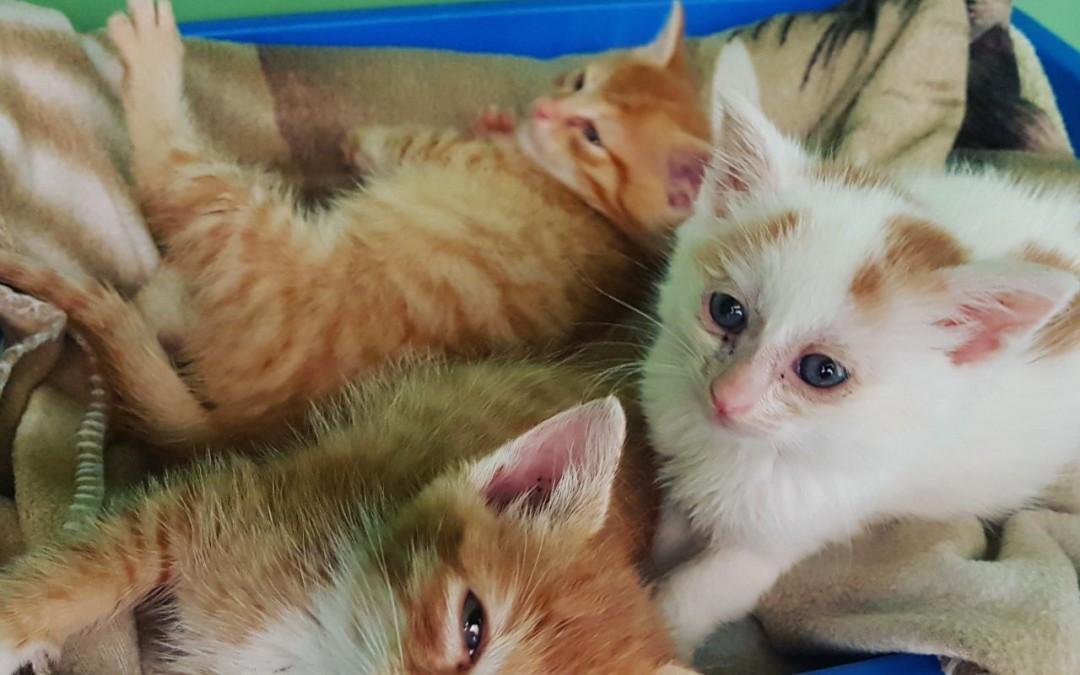 Trio in rot-weiß – 3 kleine Kater suchen liebe Familien