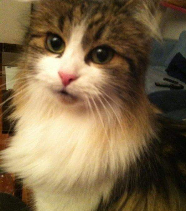 Mucki und Mausi – älteres Maincoon Katzenpaar