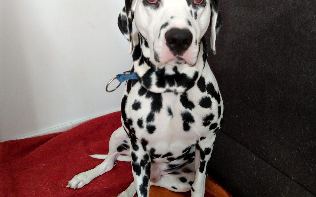 Dalmatiner Rüde Rocky – neues Zuhause mit unserer Hilfe gefunden