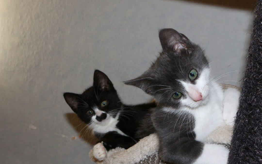 Maja und ihr Bruder Smokey – zwei junge Katzen