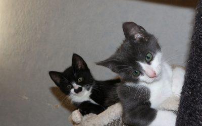 Maja und ihr Bruder Smokey – zwei junge Katzen suchen liebevolles Zuhause