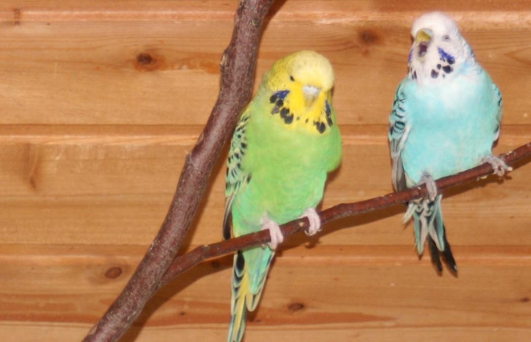 blauer und grüner Wellensittich im Vogel-Paradies