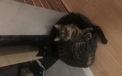 Mogli und sein getigerter Freund suchen dringend neues Zuhause